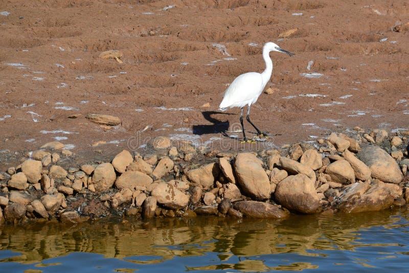 Biały egret z czarnym cieniem w Granie Canaria obrazy royalty free