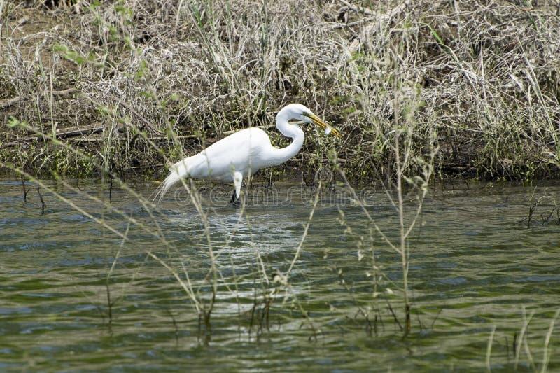 Biały Egret z rybą w dziobie zdjęcia royalty free