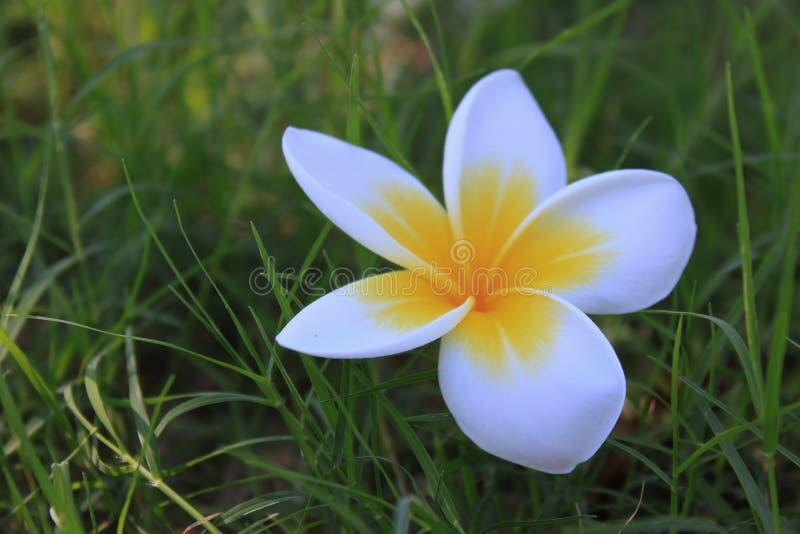 biały frangipani kwiat na zieleni obrazy stock