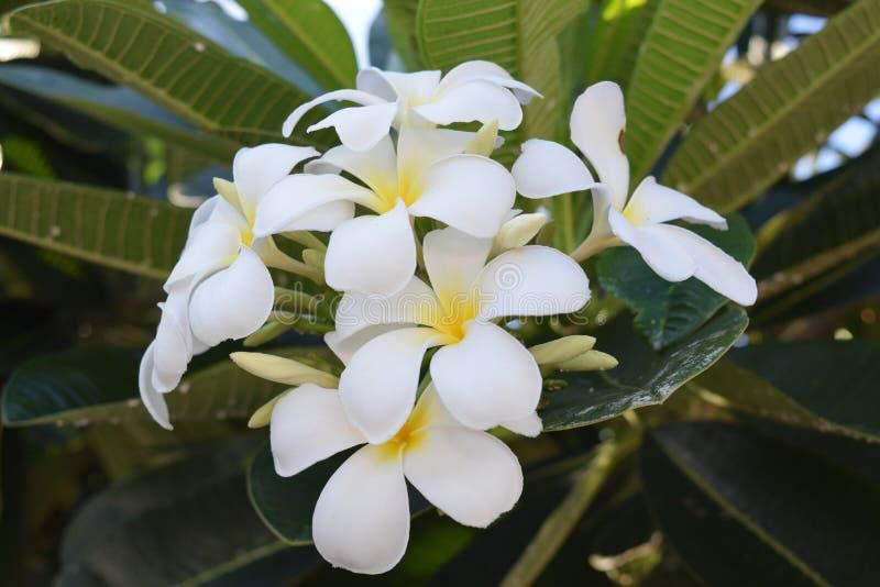 Biały Frangipani kwitnie od Thailand zdjęcia royalty free