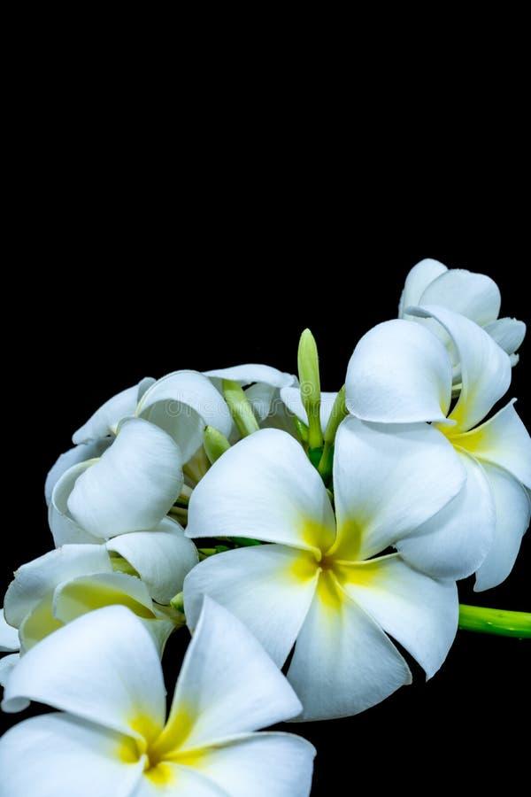 Biały frangipani odizolowywający na czarnym tle zdjęcia stock