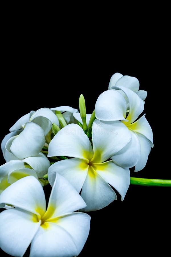 Biały frangipani odizolowywający na czarnym tle obrazy stock