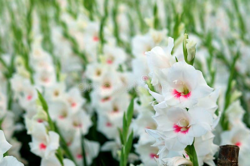 Biały gladiolusa kwiat w polu Przedstawicielstwo Prześwietny piękno i obietnica fotografia stock