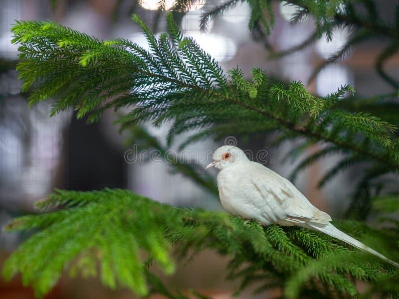 Biały gołąb na sosny gałąź na plamy bokeh tle Gołębi Ptasi pojęcie zdjęcie royalty free