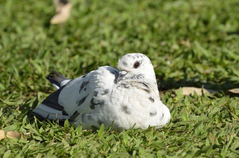 Biały gołąb na trawie zdjęcie stock