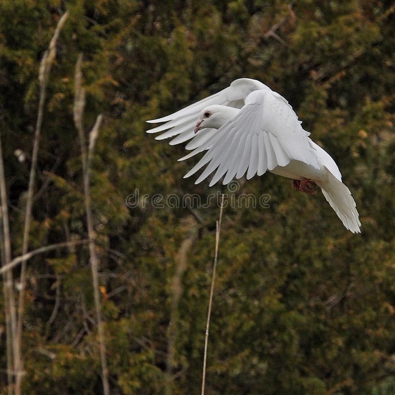 Biały gołąb symbol pokój i czystość obraz stock