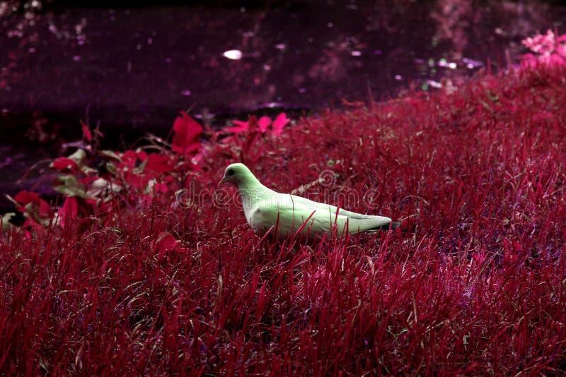 Biały Gołębi odprowadzenie na Purpurowej trawie obrazy royalty free