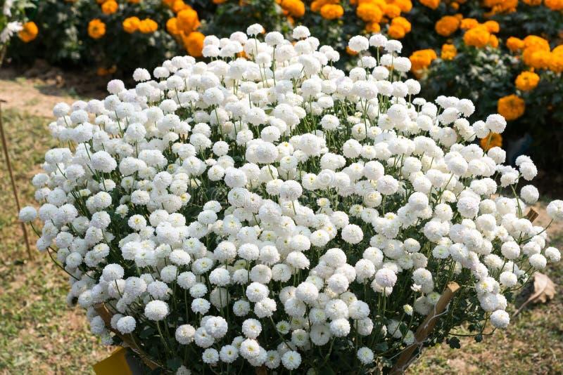 Biały Guldavari chryzantemy kwiat, zielne odwiecznie rośliny Ja jest słońce rośliny kochającymi kwiatami w wczesnej wiośnie póżno fotografia royalty free