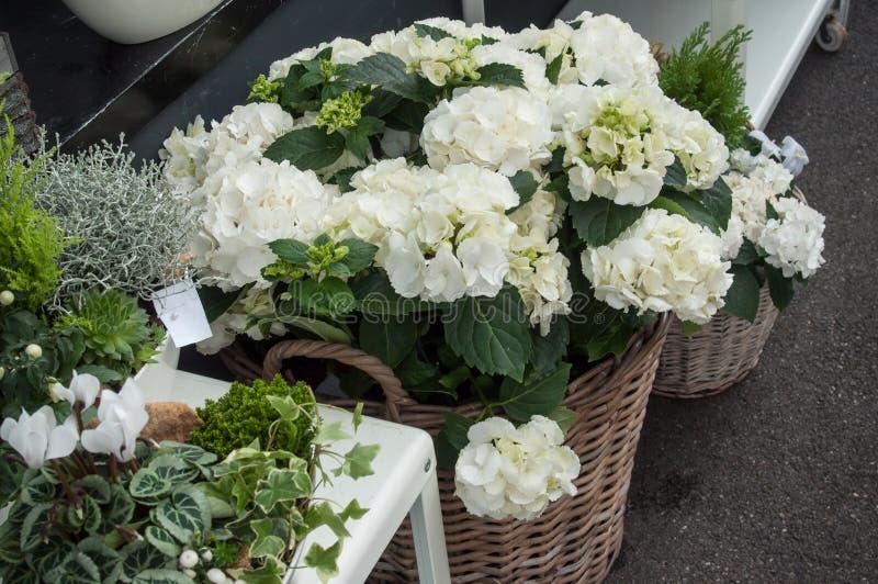biały hortensia przy kwiaciarnią zdjęcia royalty free