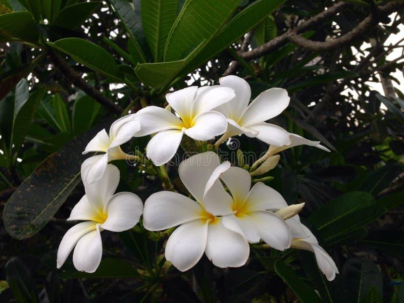 Biały i żółty plumeria frangipani kwiat zdjęcia royalty free