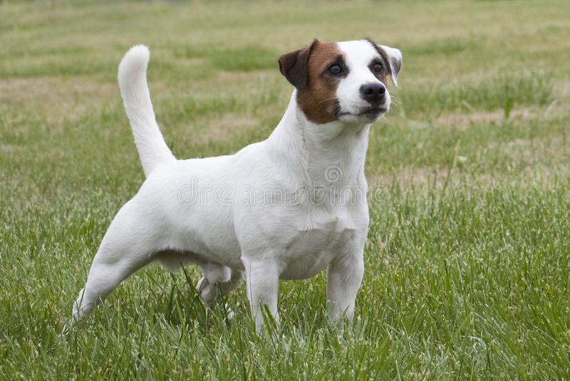 Biały i brown Jack Russell terier zdjęcia stock