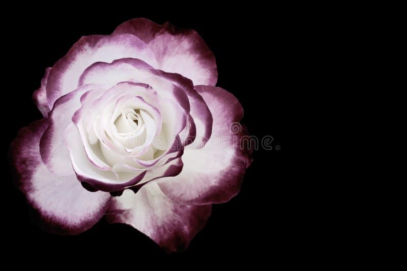 Biały i ciemny - czerwieni róża odizolowywająca na czerni obrazy royalty free