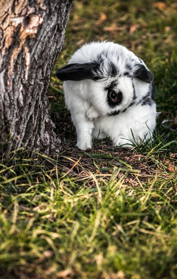 Biały i czarny królik - królik na trawie obraz royalty free