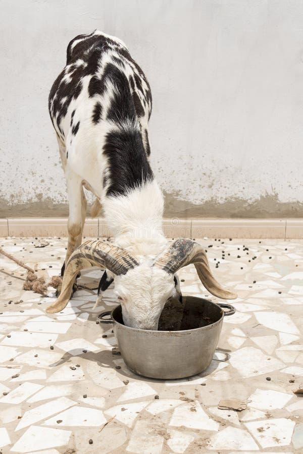 Biały i czarny Sahelian baranu łasowanie zdjęcie stock