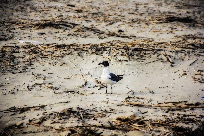 Biały i czarny seagull na plaży zdjęcia royalty free