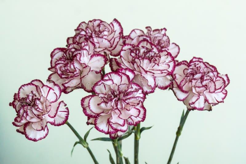 Biały i czerwony dianthus caryophyllus bukiet zdjęcie stock