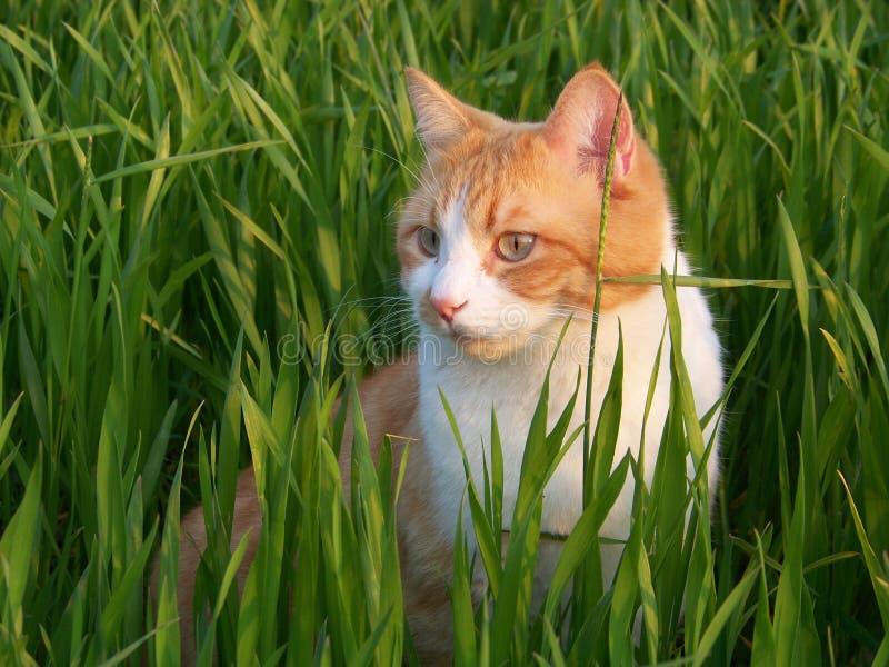 Biały i pomarańczowy męski kot obrazy stock