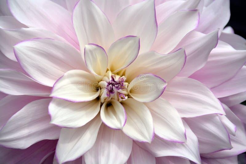 Biały i purpurowy dalia kwiat obrazy royalty free