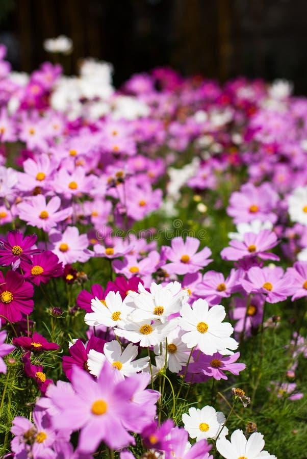 Biały i purpurowy kosmosu kwiat w polu obraz royalty free