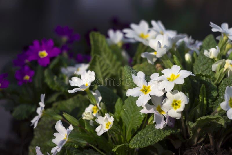 Biały i purpurowy pierwiosnek - jaskrawa wiosna kwitnie jako dywanik fotografia stock