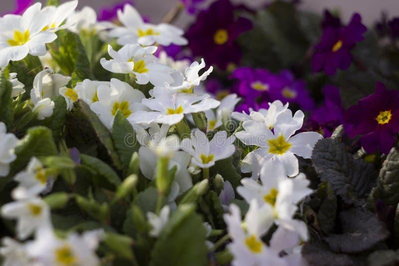 Biały i purpurowy pierwiosnek - jaskrawa wiosna kwitnie jako dywanik, fotografia royalty free