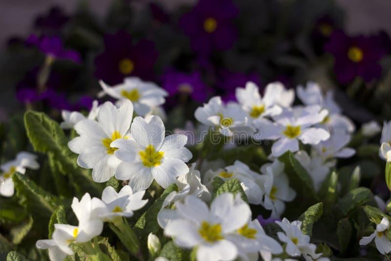 Biały i purpurowy pierwiosnek - jaskrawa wiosna kwitnie jako dywanik, kwiecisty obrazy stock