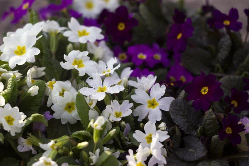 Biały i purpurowy pierwiosnek - jaskrawa wiosna kwitnie jako dywanik, kwiecisty fotografia royalty free