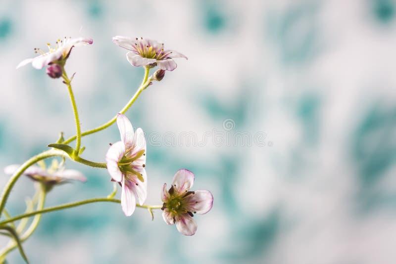 Biały i różowy badan kwitnie makro- zbliżenie obrazy stock