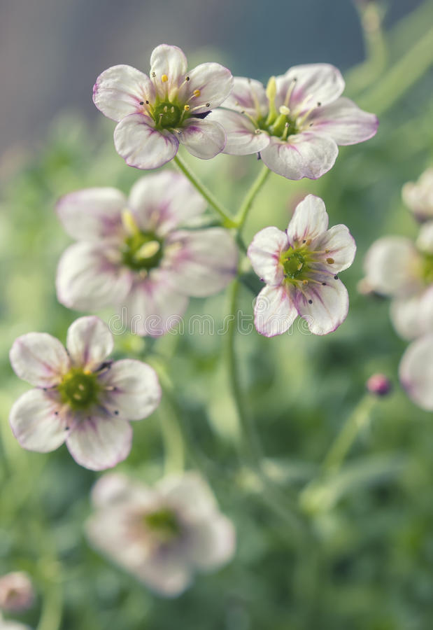 Biały i różowy badan kwitnie makro- zbliżenie obraz royalty free