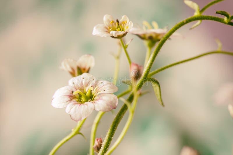Biały i różowy badan kwitnie makro- zbliżenie obrazy royalty free