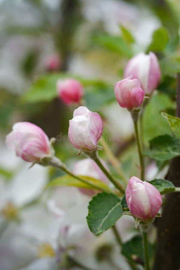 Biały i różowy jabłko kwitnie z zielonymi liśćmi zdjęcia stock