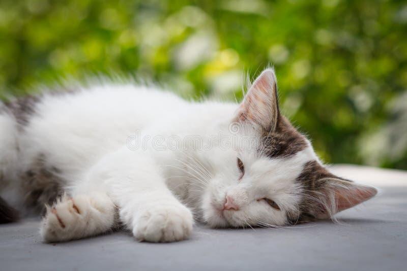 Biały i szary kota lying on the beach w ogródzie zdjęcie stock