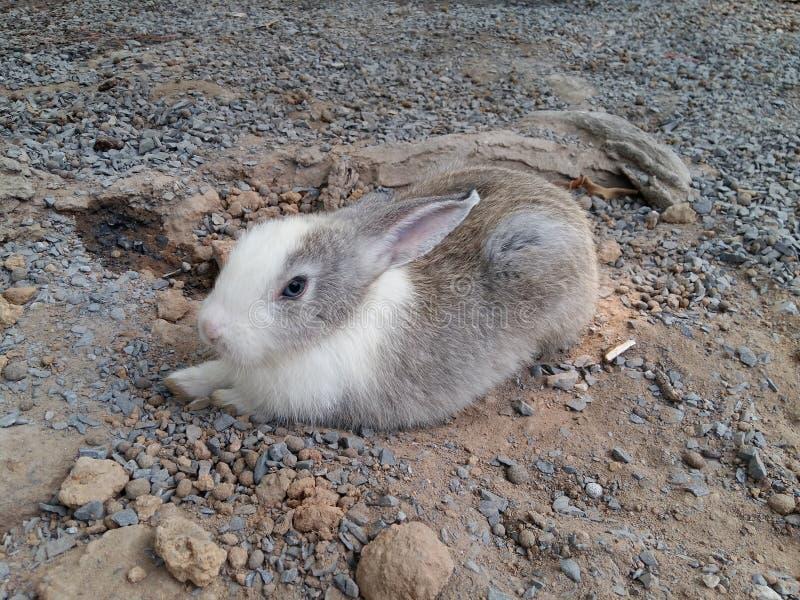 Biały i szary królik fotografia stock