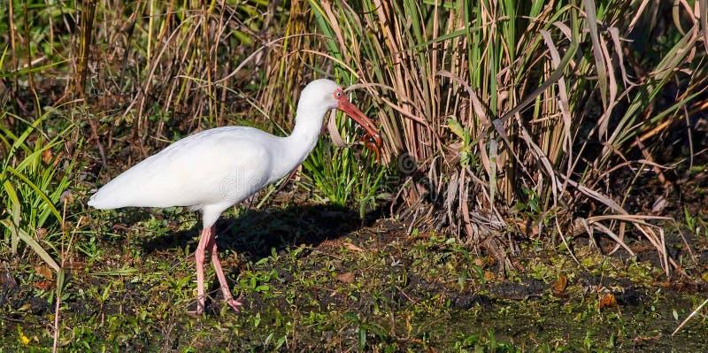 Biały ibisa Eudocimus albus z złapanym węża posiłkiem obrazy stock