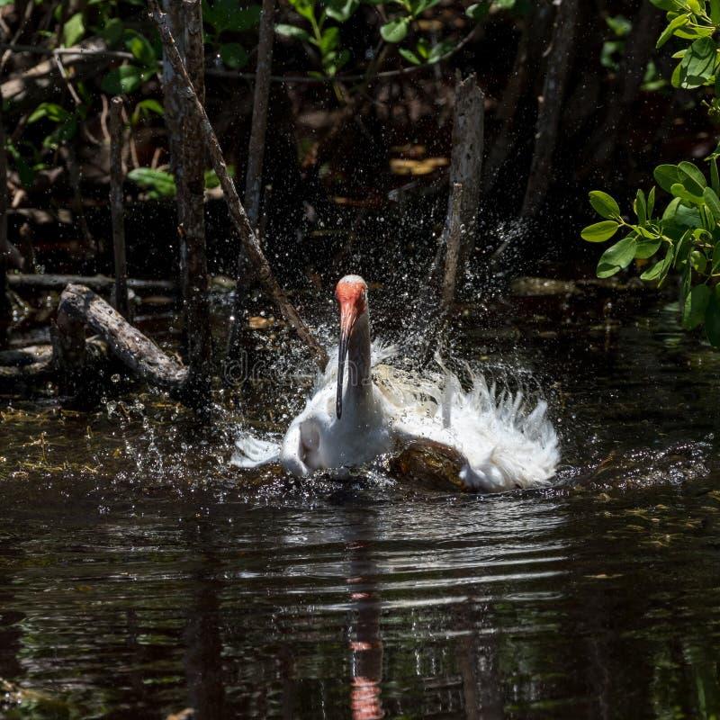 Biały ibisa kąpanie, J n Ding Kochany Krajowy Dziki obraz stock