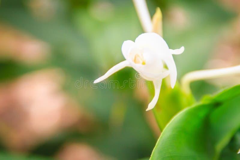 Biały imbirowy kwiat z zielonymi liśćmi (Hedychium coronarium) Hedychium coronarium także znać jako biała leluja lub biały ginge obraz stock