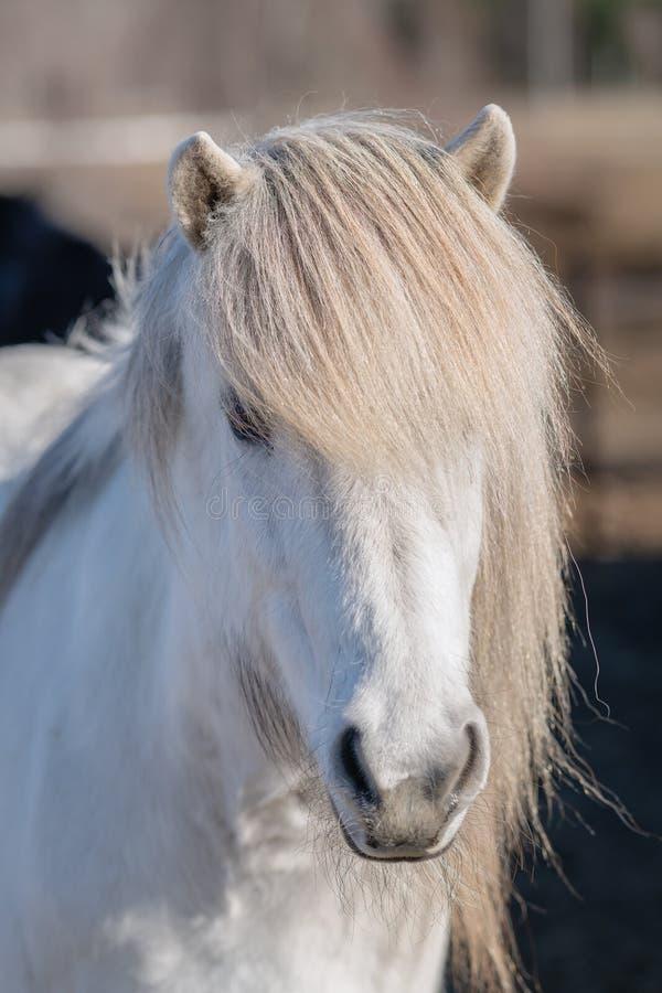 Biały Islandzki koń z długą szarą grzywą zdjęcie royalty free