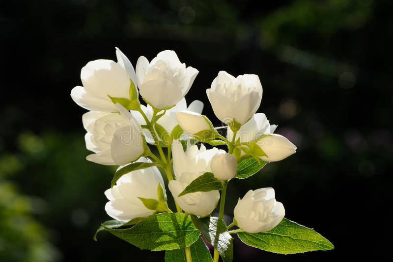 Biały jaśmin Kwitnie na Zielonym tle zdjęcie stock