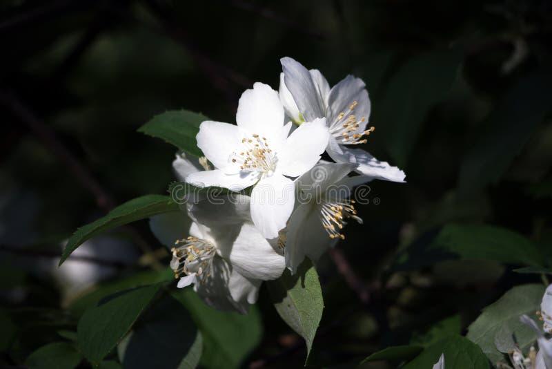 Biały jaśminowy kwiat w świetle słonecznym fotografia stock