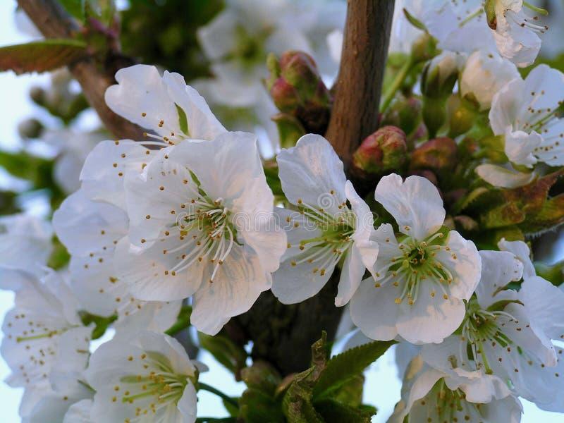 Biały jabłczany kwiat fotografia royalty free
