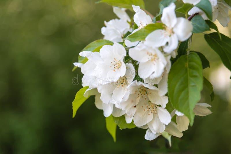 Biały jabłko kwitnie na gałęziastym zbliżeniu z zielonym tłem obraz stock