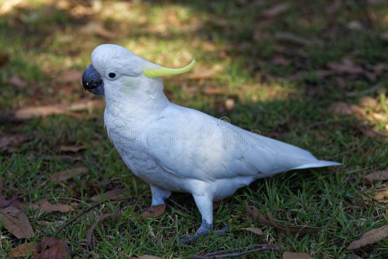 Biały kakadu portret zdjęcia royalty free