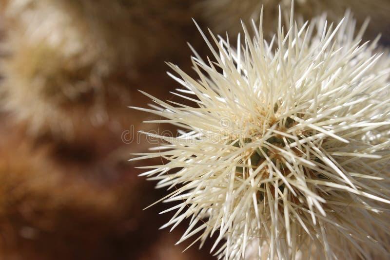 Biały kaktus z długimi cierniami - globalnego nagrzania natura zdjęcie royalty free