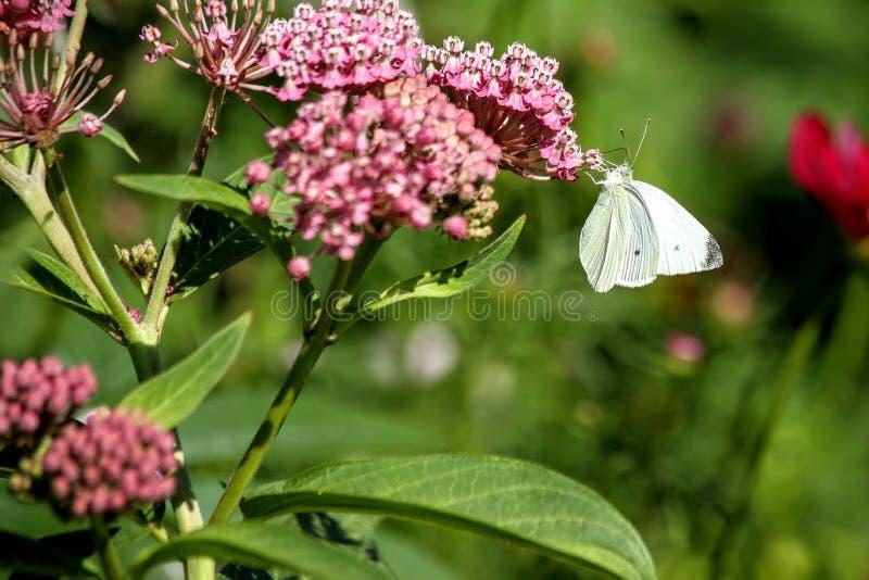 Biały kapuściany motyl obrazy stock
