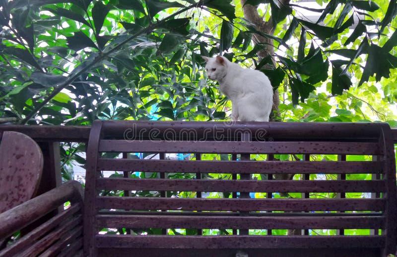 Download Biały Khao Manee Kota Obsiadanie Na Tarasowym Poręczu Zdjęcie Stock - Obraz złożonej z pokojowo, taras: 57653348