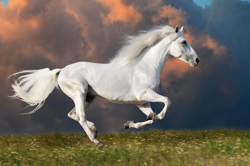 Biały koń biega na nieba ciemnym tle zdjęcia stock