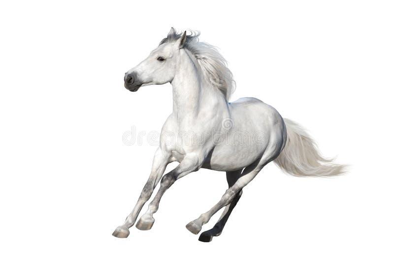 Biały koń ciący za obraz royalty free