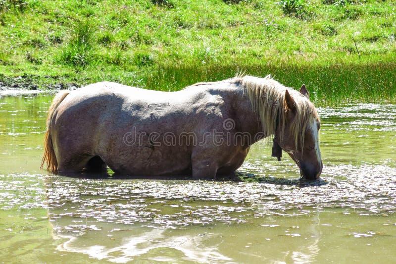 Biały koń je algi w stawie w Katalońskich Pyrenees, Spai zdjęcie royalty free