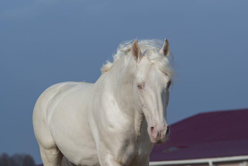 Biały koń na tle niebieskie niebo i czerwień dach fotografia stock