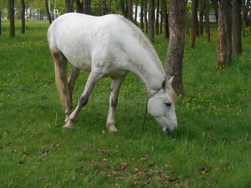 Biały koń na zielonej trawie obraz stock